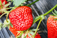 Ripe strawberry fruit grows in the plantation Royalty Free Stock Photography