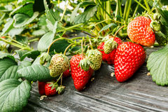 Ripe strawberry fruit grows in the plantation Stock Photography