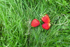 Ripe strawberry on green grass Stock Photography