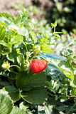 Ripe strawberry Stock Images