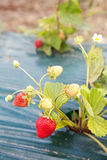 Ripe strawberry growing Stock Photography