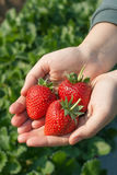 Ripe strawberry in hand. Royalty Free Stock Photo