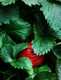 Ripe Strawberry Patch Garden. Ripe Red Strawberry Patch Garden in Spring or Summer. Macro details Stock Photos