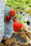 Ripe Strawberry Royalty Free Stock Photos