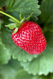 Ripe strawberry plant Royalty Free Stock Photo