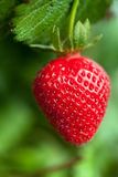 Ripe strawberry plant Stock Images