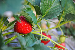 Ripe strawberry on a plant. Chiangmai thailand stock image