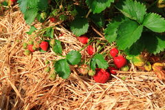 Ripe Strawberry Plant Stock Photos