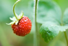 Ripe strawberry on vine Royalty Free Stock Images