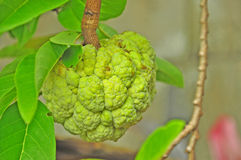 Ripe Sugar Apple. On the tree Stock Photography