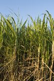Ripe sugar cane Royalty Free Stock Photos