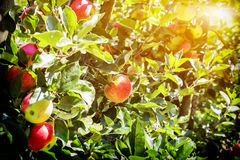 Ripe summer  apples Stock Image