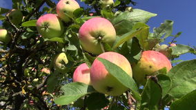 Ripe summer end apple on tree branch. In garden stock video footage