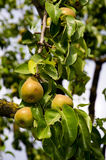 Ripe summer pears on branch Stock Photography