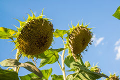 Ripe sunflower against the sky. Bottom view. A Ripe sunflower against the sky. Bottom view Royalty Free Stock Image
