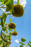 Ripe sunflower against the sky. Bottom view. A Ripe sunflower against the sky. Bottom view Stock Image