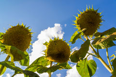 Ripe sunflower against the sky. Bottom view. A Ripe sunflower against the sky. Bottom view Royalty Free Stock Photography