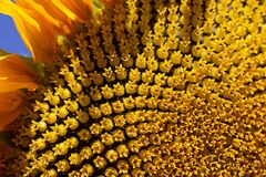 Free Ripe Sunflower Close-up In The Sun Stock Photo - 196629350