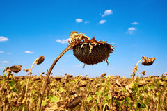 Ripe sunflower farm field. Harvesting. Autumn. Fall. Royalty Free Stock Image