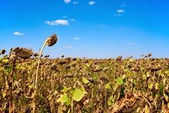 Ripe sunflower farm field. Harvesting. Autumn. Fall. Royalty Free Stock Photography