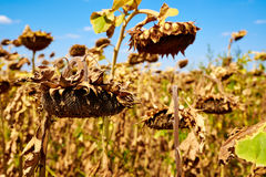 Ripe sunflower farm field. Harvesting. Autumn. Fall. Royalty Free Stock Photography