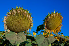 Ripe sunflower field Stock Photo