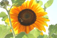 Ripe sunflower and bumblebee royalty free stock photo