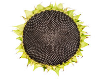 Ripe sunflower,isolated Royalty Free Stock Photography
