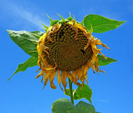 Ripe sunflower with seeds on blue sky background Stock Photo