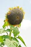 Ripe sunflower Stock Images