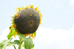 Ripe sunflower. Sunflower with ripe seeds ready for harvest on light sky background Stock Images