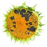 Ripe sunflower on white Stock Photo