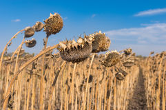 Ripe sunflowers in autumnal field in central Ukraine Royalty Free Stock Images