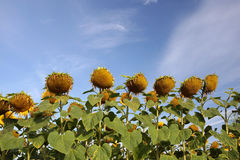 Ripe sunflowers Royalty Free Stock Photography
