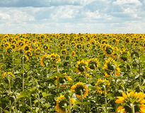 Ripe sunflowers field at summer landscape Royalty Free Stock Photography