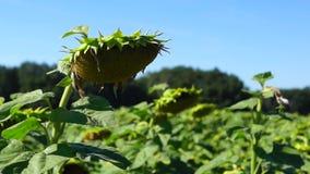 Ripe sunflowers plantation stock video
