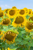 Ripe sunflowers seeds gravity bent on the sky, Stock Photo