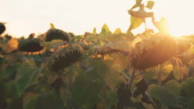 Ripe sunflowers on sky with sunset background. 4K stock footage