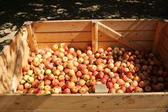 Ripe and sweet apples. Lie in a box on straw royalty free stock images