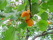 Ripe sweet apricot fruits growing on a apricot tree branch. In orchard Stock Images