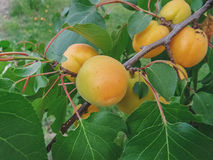 Ripe sweet apricot fruits growing on a apricot tree branch. In orchard Royalty Free Stock Images