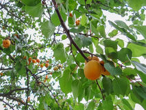 Ripe sweet apricot fruits growing on a apricot tree branch. In orchard Royalty Free Stock Photos