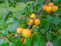 Ripe sweet apricot fruits growing on a apricot tree branch. In orchard Royalty Free Stock Image