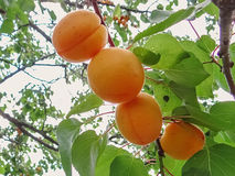 Ripe sweet apricot fruits growing on a apricot tree branch. In orchard Stock Photography