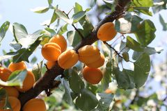 Ripe sweet apricot fruits growing on a apricot tree branch in orchard. Apricot ripening Stock Image