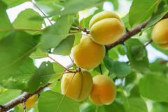 Ripe sweet apricot fruits growing on a apricot tree branch in or. Chard. Apricot ripening Stock Images