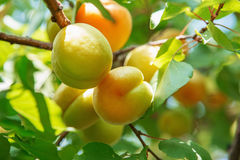 Ripe sweet apricot fruits growing on a apricot tree branch in or. Chard. Apricot ripening Royalty Free Stock Photography