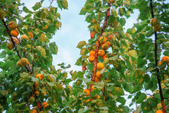 Ripe sweet apricot fruits growing on a apricot tree branch in or Stock Photos
