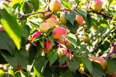 Ripe sweet apricot. Fruits growing on a apricot tree branch Stock Image
