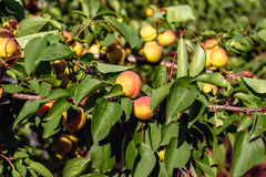 Ripe sweet apricot fruits Royalty Free Stock Photography